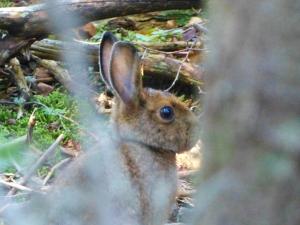 snowshoe hare on Rocky's summit