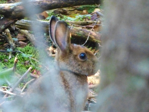 snowshoe hare on Rocky's summit