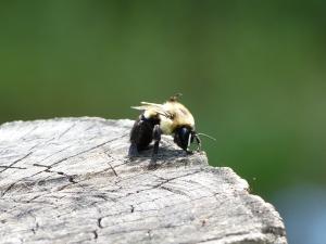 This bumblebee is doing yoga.
